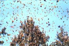 Резерват биосфере лептира Монарха