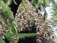 Rezervat biosfere leptira Monarha